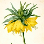 Achievement Crown Imperial. Fritillaria imperialis var. jaune par P.J. Redouté. Plate of watercolor . Choix des plus belles fleurs et des plus beaux fruits, t. 2, P.J. Plate is 1827. of Pierre-Joseph Redouté